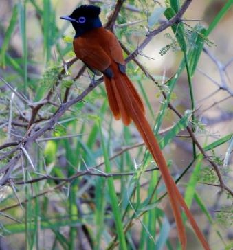 Paula Gilhooley…African Paradise Flycatcher – travelswithpaulagilhooley